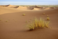 Plants in sand dunes in Sahara. Stock Image