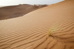 Plants in sand dunes in Sahara. Stock Images