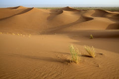 Plants in sand dunes in Sahara. Stock Photography