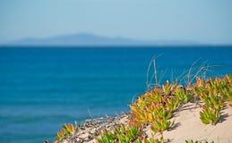 Plants by the sea. Karkalla by the Platamona sea, Sardinia Royalty Free Stock Images