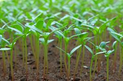 Plants seedling growing on fertile soil. baby plant begins new life.  Royalty Free Stock Photos