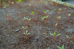 Plants seedling growing on fertile soil. baby plant begins new life.  Royalty Free Stock Image
