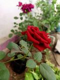 Plants show in rose red. Picture of A rose plant they are best look in time mornings stock image