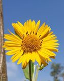 Plants similar to sunflower. These flowers may refer to their pale yellow leaves and their center filled with graceful black beads as sunflowers, but they are royalty free stock photo