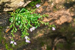 Green moss and flower with droops. Plants, small flowers and moss, green, closeup of vegetation in the rocks Royalty Free Stock Images
