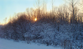 Plants in the snow. Sunlight streaming through the plants in the snow Royalty Free Stock Image
