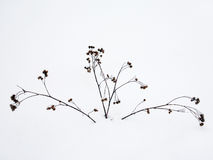 Plants in the snow. Winter. dried plants covered with snow royalty free stock photography