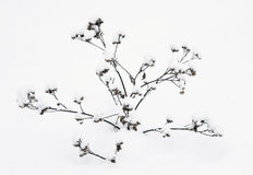 Plants in the snow. Winter. dried plants covered with snow stock images