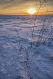 Plants in snowy field at sunset. Royalty Free Stock Photos
