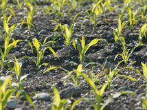 Plants in soil Royalty Free Stock Images