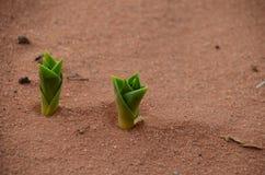 Plants spring to life after an unusual cloudburst, Wadi Rum, Jordan Stock Photos
