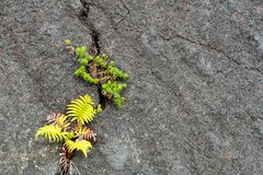 Plants sprouting in cooled lava cracks, Big Island, Hawaii Stock Photos