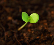 Plants start to grow. Royalty Free Stock Image