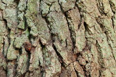 Plants stem texture tree trunk  wooden Royalty Free Stock Photo