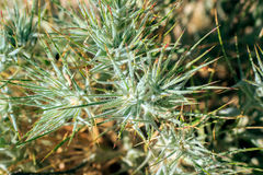 Plants in the steppe. Green spines, plants grow in the steppe Stock Image