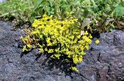 Plants stonecrop Stock Images