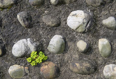 Plants stonecrop sprouting between the stones wall Stock Image