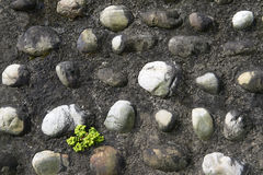 Plants stonecrop sprouting between the stones wall Stock Photography