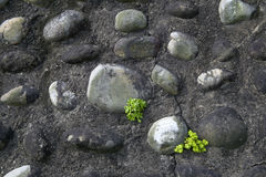 Plants stonecrop sprouting between the stones wall Stock Photo