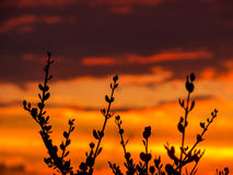 Plants at sunset. Plants in the foreground against a spectacular sunset with colored clouds Stock Image
