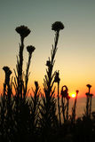 Plants on Sunset Royalty Free Stock Images