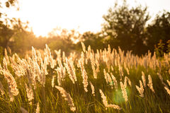 Plants at sunset. Wild summer plants at sunset Royalty Free Stock Image