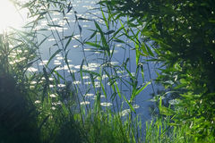 Plants in swamp water in evening summer sun Royalty Free Stock Photography