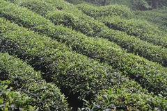 Plants of tea are growing on the side of a hill in China Stock Image
