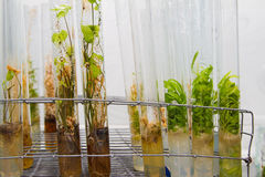 Plants in test tubes Stock Photography
