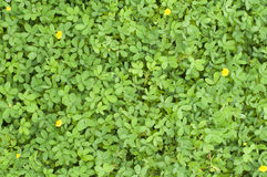Plants texture with tiny leaves Royalty Free Stock Photo