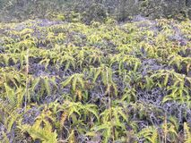 Plants thriving near volcano at Volcanoes National Park on the Big Island royalty free stock image