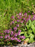Plants of thyme beside the road. A wonderfully scented violet little thyme Stock Photo