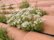 Plants on tile roof. Details of flowering plants growing between cracks on a tiled roof Stock Images