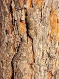 Horse Chestnut Bark stock photo