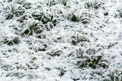 Plants under snow Royalty Free Stock Photos