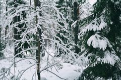 Plants under the snow in winter forest Royalty Free Stock Image