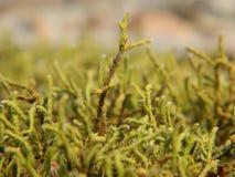 Plants of ussuri taiga. spring primrose royalty free stock image