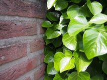 Plants versus wall, the fight! stock photo
