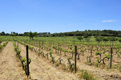 Plants of vine in the spring. Vineyard in the spring in Mallorca, Spain Royalty Free Stock Photo