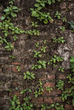 Plants on wall. Plants grow on old wall Stock Images