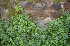 Plants on the wall Royalty Free Stock Photo