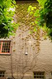 Plants on the wall. Plants on the building wall in Oslo, Norway Royalty Free Stock Photo