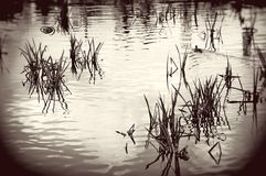 Plants on the water. Royalty Free Stock Image
