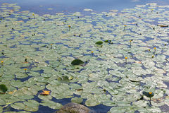 Plants of waterlilies in the lake. Some plants of waterlilies in the lake stock images