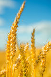 Plants  of wheat on a background of a sky Stock Photography