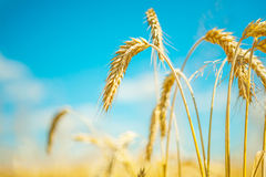 Plants of wheat Royalty Free Stock Photos