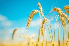 Plants of wheat Royalty Free Stock Photos