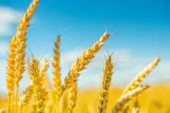 Plants of wheat before harvesting Royalty Free Stock Photos