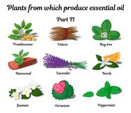 Plants from which produce essential oils. Part 2. Plants from which produce essential oils such as Frankincense, Vetiver, Bay tree, Rosewood, Lavender, Neroli vector illustration