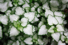 Plants with white leaves with a green border. Can be used as a background Royalty Free Stock Image